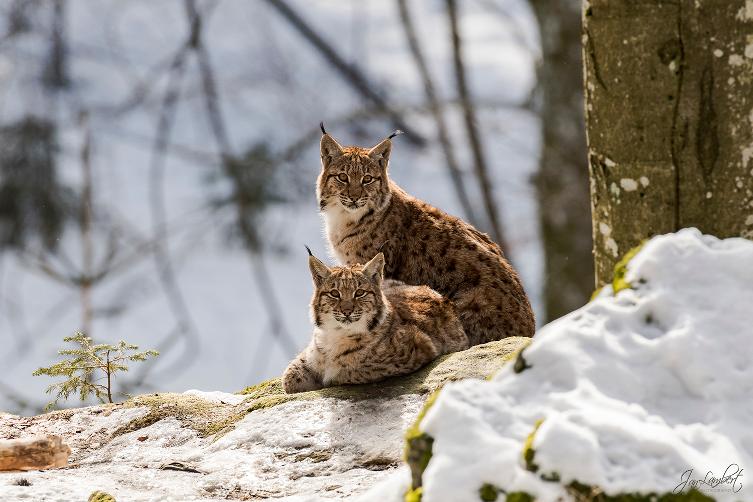foto lynx - Jan Lambert Photography